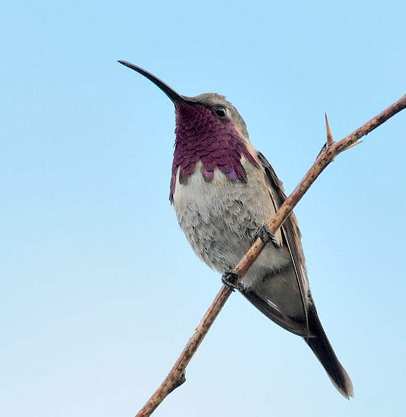 Lucifer hummingbird captured at Ash Canyon,AZ.As Canyon B&B is the most reliable place to find Lucifer hummingbird.