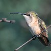 female Lucifer Hummingbird Ash Canyon B&B,Ash Canyon,AZ,2009.