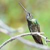 Magnificent Hummingbird at Beatty's Guest Ranch,Miller Canyon,AZ.