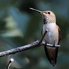 Rufous Hummingbird at Ash Canyon B&B,Ash Canyon,AZ,2009.