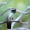White-eared Hummingbird at Miller Canyon ,AZ