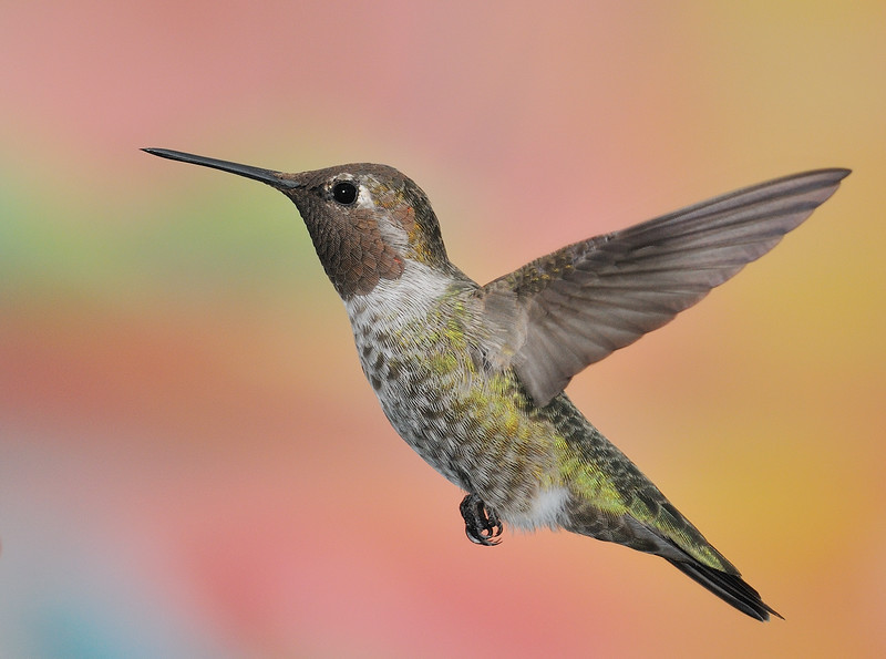 Broad-tailed Hummingbird at  Ramsey Canyon Inn,Ramsey Canyon,AZ,2009.