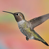 Broad-tailed Hummingbird at  Ramsey Canyon Inn,Ramsey Canyon,AZ,2009.