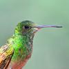 Berylline Hummingbird, Miller Canyon,AZ.