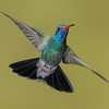 Broad-billed Hummingbird at Ash Canyon,AZ