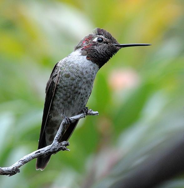 Anna's Hummingbird at Miller canyon, AZ