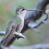 female Magnificent Hummingbird at Beatty's Guest Ranch,Miller Canyon,AZ,2009