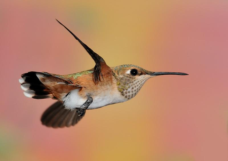 Rufous Hummingbird,Ramsey Canyon Inn,Ramsey Canyon,AZ.