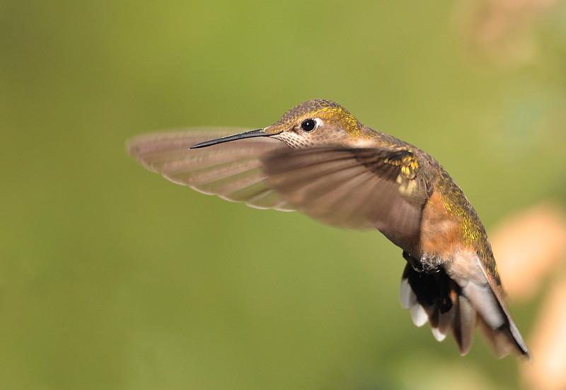 female Rufous Hummingbird,Beatty's Guest Ranch,Miller Canyon,AZ.