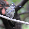 Magnificent Hummingbird at Miller Canyon,AZ