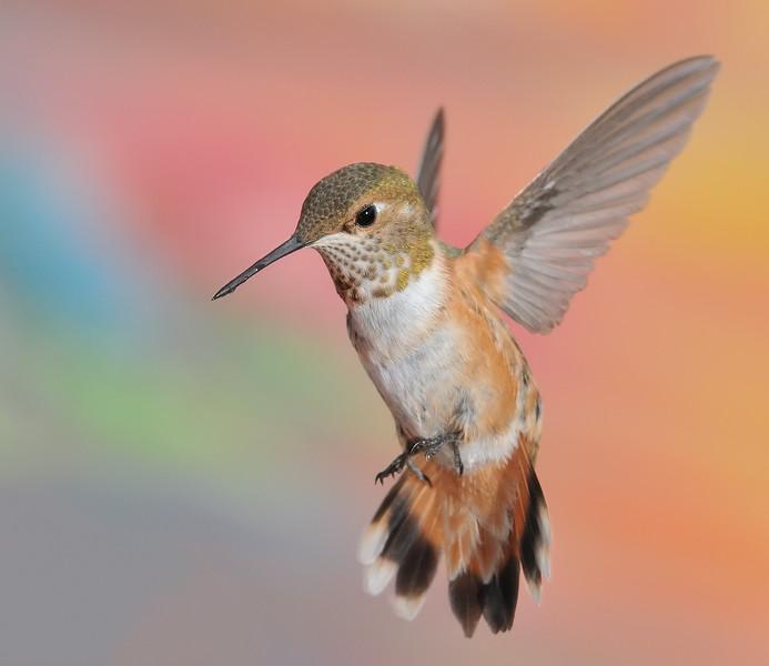 Rufous Hummingbird at Ramsey Canyon Inn,Ramsey Canyon,AZ,2009