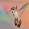 Rufous Hummingbird at Ramsey Canyon Inn,Ramsey Canyon,AZ,2009