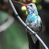 Broad-billed Hummingbird at Beatty's Guest Ranch,Miller Canyon,AZ,2009