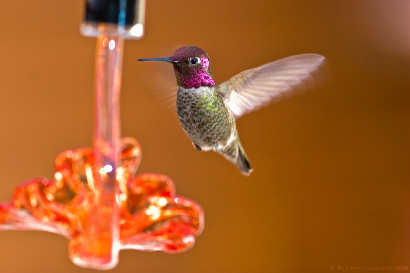 A male Anna's Hummingbird hovers and drinks from a feeder in our backyard in Phoenix.