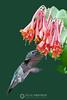 Hummingbird on honeysuckle