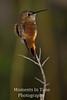 Hummingbird rufous