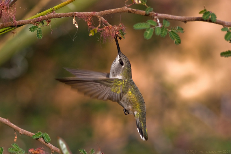 A female Costa's hummingbird takes a sip from flowers mid-flight.
