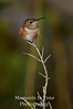 Rufous on tall perch V