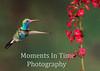 broadbill hummingbird   (Cynanthus latirostris)