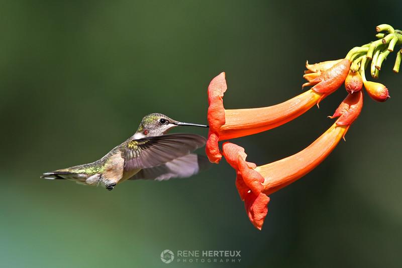 Ruby throated hummingbird�