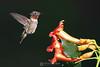 Male hummingbird and trumpet vine