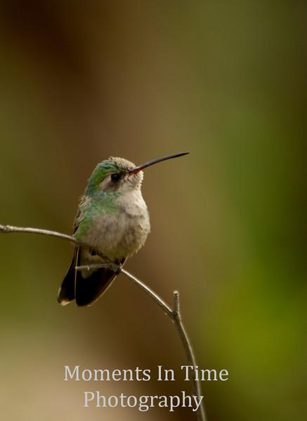 Hummingbird Anna's