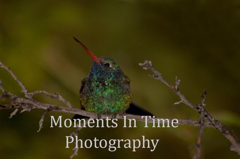 Hummingbird broadbill (Cynanthus latirostris)