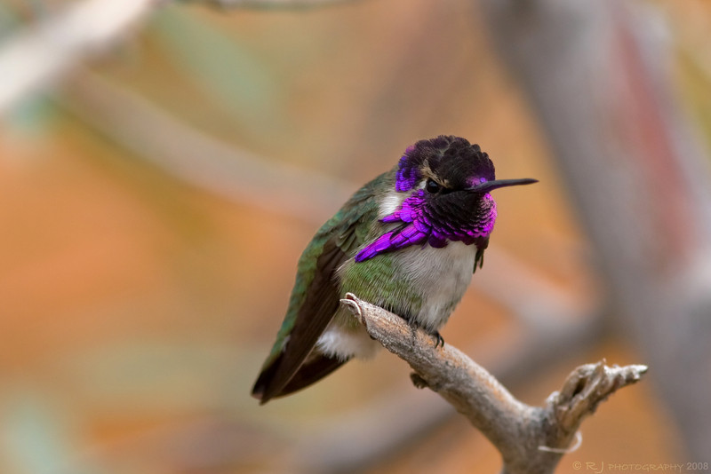 A male Costa's hummingbird shows off his strikingly colored bib.