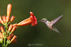 Ruby throated hummingbird�