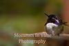 Hummingbird costa (Calypte costae)