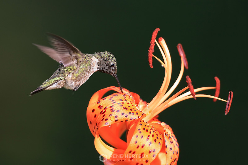 Hummingbird on tiger lily