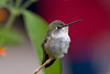 A female Costa's hummingbird perches in the hummingbird aviary at the Sonoran Desert Museum in Tucson.