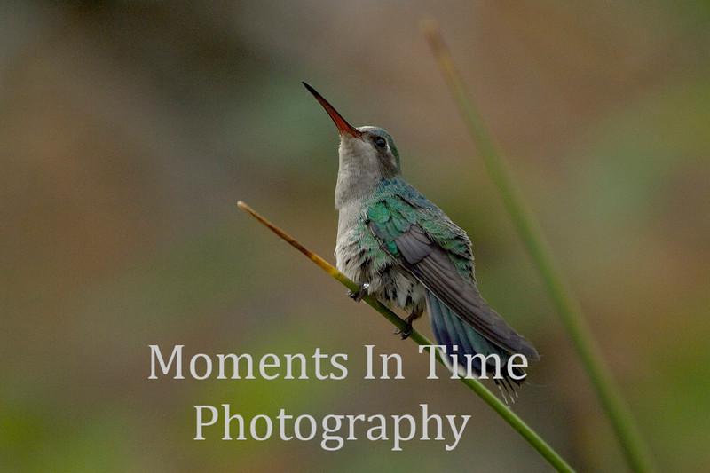 Hummingbird on diagonal perch