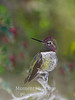 Hummingbird Anna's (Calypte anna)