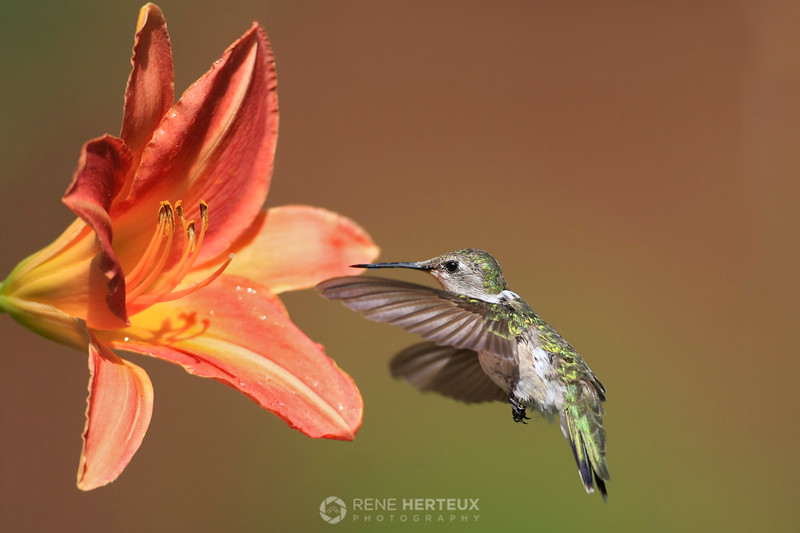 Hummingbird and lily