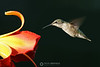 Hummingbird on lily