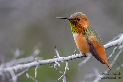 Allen's Hummingbird - UCSC Arboretum, Santa Cruz, CA, USA