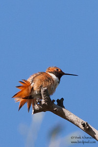 Allens / Rufous Hummingbird - Ed Levin County Park, Milpitas, CA, USA