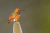 Allen's Hummingbird - Santa Cruz, CA, USA