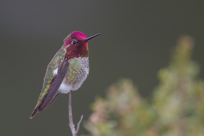 Anna's Hummingbird - Richmond, CA, USA