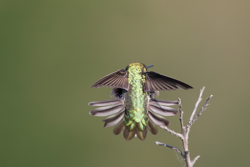 Anna's Hummingbird - Male - Mt. View, CA, USA