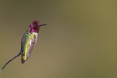 Anna's Hummingbird - Male - Mt. View, CA, USA