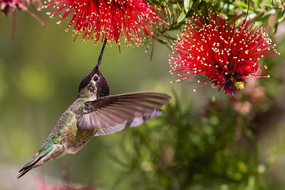 Anna's Hummingbird - San Luis Obispo, CA, USA