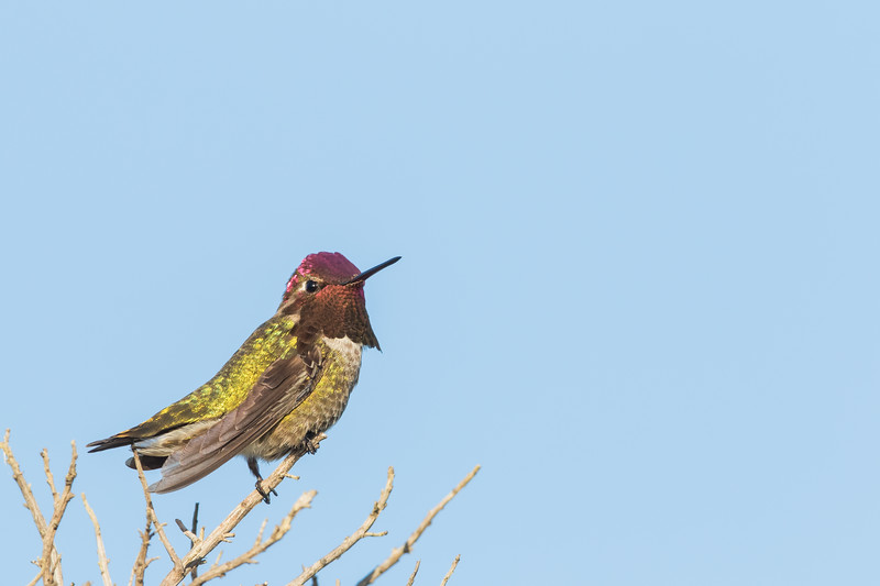 Anna's Hummingbird - Mountain View, CA, USA