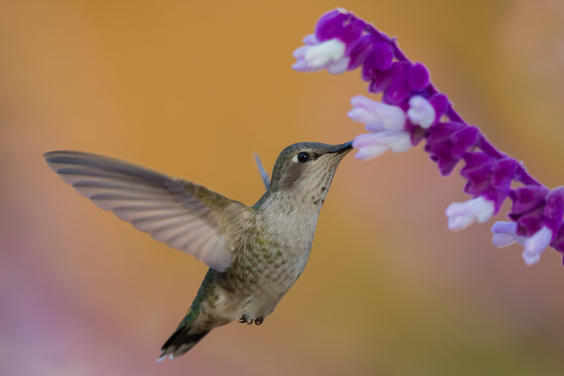 Anna's Hummingbird - Vasona Lake County Park, Los Gatos, CA, USA