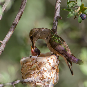 Anna's Hummingbird on nest - Tucson, AZ, USA
