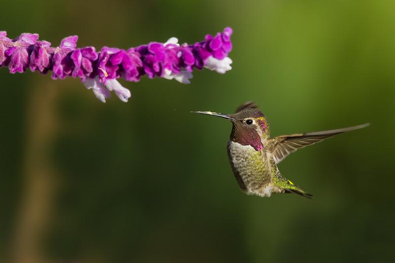 Anna's Hummingbird - Vasona Lake County Park, Los Gatos, CA, USA
