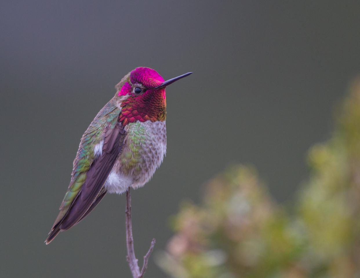 Anna's Hummingbird - USA