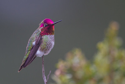 Anna's Hummingbird - USA