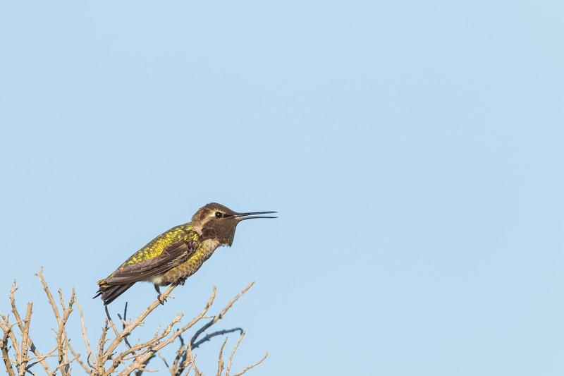 Anna's Hummingbird - Mountain View, CA, USA